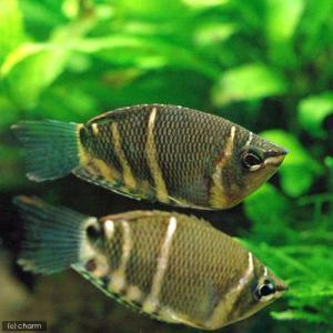 メーカー:■25〜30 メーカー品番: 熱帯魚・エビ他 グラミー・アナバス グラミー・リコリス チョ...
