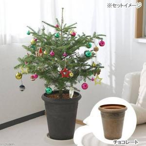 (観葉植物)本物のもみの木 ウラジロモミノキとオーナメント20個・アンティーク調樹脂ポット(チョコレート)の2個口送料無料 沖縄別途送料 chanet