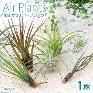 (観葉植物)エアープランツ(品種おまかせ)(1株)|chanet