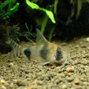 メーカー:■25〜30 メーカー品番: _aqua sfset 熱帯魚・エビ他 コリドラス ラウンド...