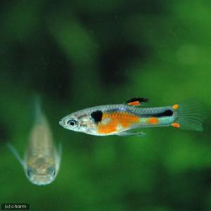 メーカー:■25〜30 メーカー品番: _aqua 熱帯魚・エビ他 グッピー 系統で選ぶ ワイルドフ...