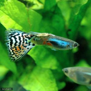 メーカー:■25〜30 メーカー品番: 熱帯魚・エビ他 グッピー ノーマル系 ラズリーレッドグラス・...
