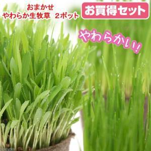 (観葉植物)猫草 おまかせやわらか生牧草 直径8cmECOポット植え(無農薬)(2ポット) 猫草|chanet