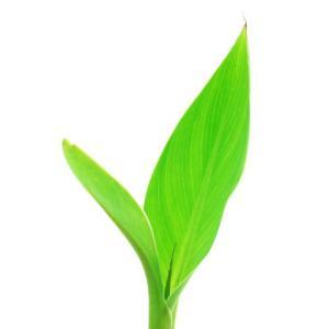 (ビオトープ)水辺植物 カンナ フローレンスボー...の商品画像