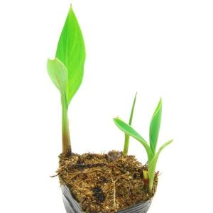 (ビオトープ)水辺植物 カンナ フローレンスボ...の詳細画像1