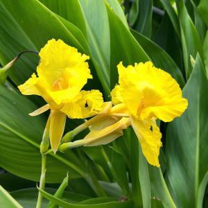 (ビオトープ)水辺植物 カンナ フラッキダ(1ポ...の商品画像