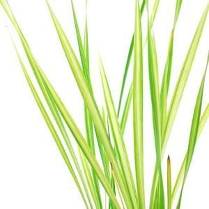 (ビオトープ/水辺植物)フイリコガマ(1ポット分)