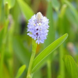 (ビオトープ/水辺植物)ポンテデリア ランケオラータ(1ポット分)