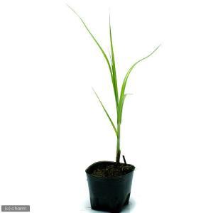 (ビオトープ/水辺植物)ウキヤガラ(1ポット分)