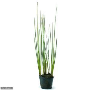(ビオトープ/水辺植物)ネビキグサ(アンペライ)(1ポット分)