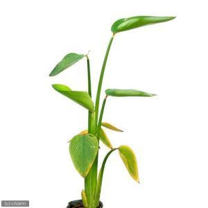 (ビオトープ/水辺植物)タリア ゲニクラータ(1ポット分)