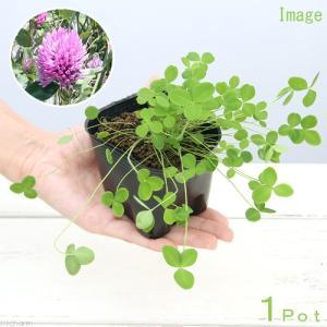 (観葉植物)ペットリーフ アカクローバー(アカツメクサ)の苗 3号(無農薬)(1ポット)赤詰草の苗  リクガメ おやつ chanet