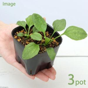 (観葉植物)ペットリーフ オオバコの苗 3号(無農薬)(3ポット)大葉子の苗 おおばこの苗 うさぎ 鳥 リクガメ chanet