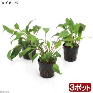 学名(改良品種の場合は品種名、または流通名):Cry.petchiiアヌビアス、クリプトコリネをお買...