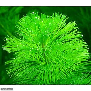 金魚藻の定番種です! カボンバ 販売単位 本(バラ) 発送サイズ 13cm前後 別名 カボンバグリー...