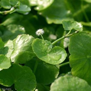 可愛い丸い葉を展開する有茎草です! アマゾンチドメグサ(水上葉)(10本) 販売名 アマゾンチドメグ...