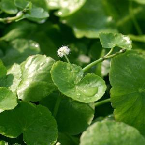 可愛い丸い葉を展開する有茎草です! アマゾンチドメグサ(水上葉)(60本) 販売名 アマゾンチドメグ...