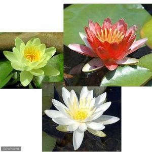 (ビオトープ/睡蓮)温帯性睡蓮(スイレン)3色セット 赤・黄・白(各1株ずつ)
