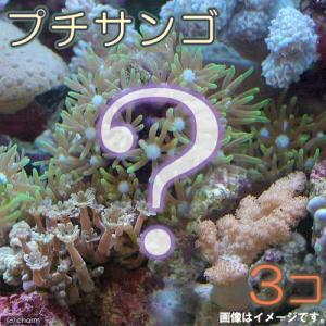 (海水魚 サンゴ)お一人様2点限り おまかせプチサンゴ(ソフトコーラル)(3個) 北海道・九州航空便要保温|chanet
