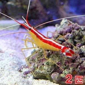 お送りする個体は、体長約4〜5.5cm程度です。抱卵個体が含まれる場合があります。個体サイズや模様、...