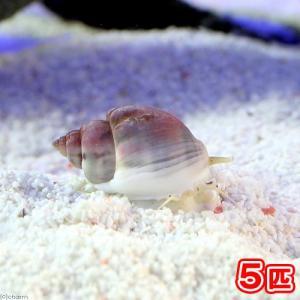 (海水魚 貝 無脊椎)(B品)イボヨウバイ 底砂とその他の掃除(5匹) 北海道・九州・沖縄航空便要保温