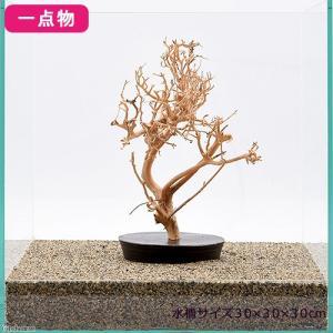 一点物 台座付き盆栽流木 30cm水槽用 214281 関東当日便
