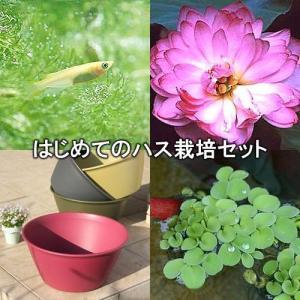 (ビオトープ/蓮)はじめてのハス栽培セット 茶わん蓮(チャワンハス)+ライズ(レッドベリー)+ヒメダカ+他 説明書付 本州・四国限定
