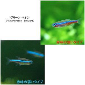 (熱帯魚)グリーンネオンテトラ(50匹) 北海道・九州・沖縄航空便要保温