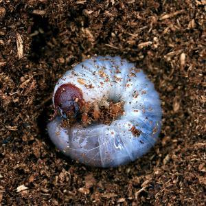 (昆虫)グラントシロカブト アリゾナ産 幼虫(初〜2令)(3匹) 外国産カブトムシ