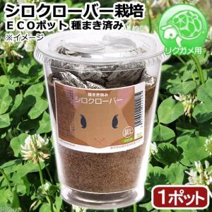 (観葉植物)種まき済み シロクローバー栽培 ECOポット 1ポット 白クローバー 白詰草 シロツメクサ リクガメ用 カメ 餌|chanet