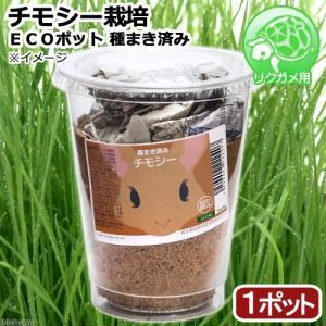 (観葉植物)種まき済み チモシー栽培 ECOポット 1ポット リクガメ用 カメ 餌|chanet