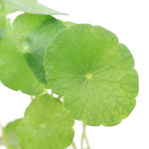 (水草)ミニマッシュルーム(水上葉) 鉢植え(無農薬)(3鉢)|chanet