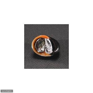 (エビ・貝)カバクチカノコ貝(2匹) 北海道・...の詳細画像1