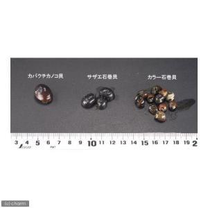 (エビ・貝)カバクチカノコ貝(2匹) 北海道・...の詳細画像2