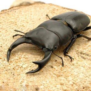 CBF1お届けするのは幼虫となります。オスメスの指定はできません。 関西でも有数の産地である能勢地方...