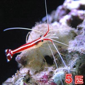 お送りする個体は、体長約2〜4cm程度です。抱卵個体が含まれる場合があります。個体サイズや模様、雌雄...