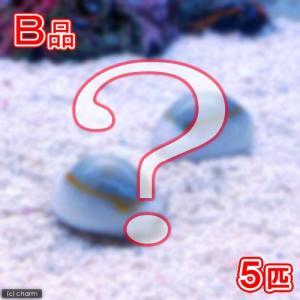 (海水魚)貝 (B品)タカラガイミックス(5匹) 北海道・九州航空便要保温 chanet