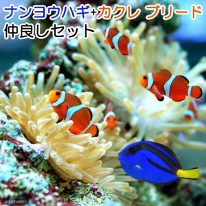 (海水魚)ナンヨウハギ(1匹)+カクレクマノミ(国産ブリード)(3匹) 仲良しセット 北海道航空便要保温