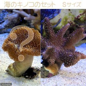 (海水魚 サンゴ)沖縄産ソフトコーラル 海のキノコのセット Sサイズ(1セット) 北海道航空便要保温