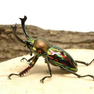 (昆虫)ニジイロクワガタ クィーンズランド産 幼虫(初〜2令)(10匹)|chanet