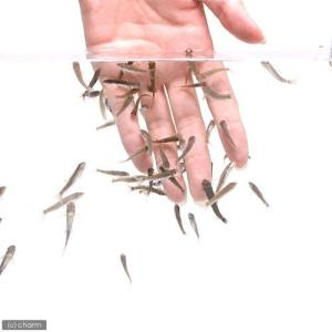 (熱帯魚)ガラ・ルファ(ドクターフィッシュ)(10匹) 北海道・九州・沖縄航空便要保温