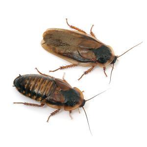 デュビア Lサイズ(成虫:4〜6cm程度)内容量 10匹徹底した衛生管理のもと、飼育されている生餌で...