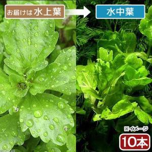 (水草)メキシカンバーレン(水上葉)(無農薬)(10本) 北海道航空便要保温