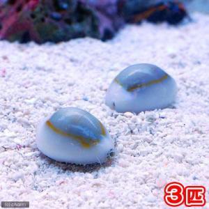 (海水魚)貝 ハナビラタカラガイ(3匹) 北海道・九州航空便要保温 chanet