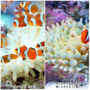 (海水魚)カクレクマノミ(2匹)+サンゴイソギンチャクセット 熱帯魚