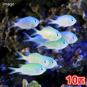 (海水魚)デバスズメダイ Mサイズ(10匹) 北海道・九州・沖縄航空便要保温|chanet