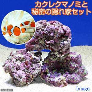 (海水魚)カクレクマノミ(2匹)と秘密の隠れ家 1セット 沖縄別途送料|chanet