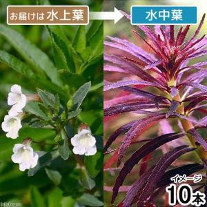 (水草)ニューオランダプラント(水上葉)(無農薬)(10本)