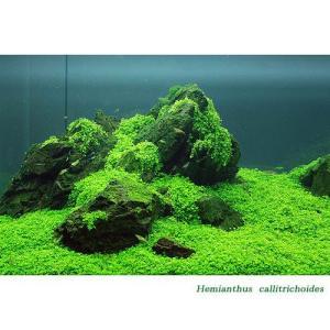 (水草)キューバパールグラス(水上葉) 鉢植え(無農薬)(3鉢) 北海道航空便要保温