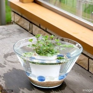 (ビオトープ/水辺植物) 窓辺の幸運 quattuor ウォータークローバームチカのセット 本州・四国限定|chanet